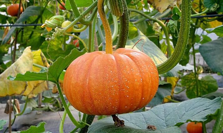 chinese pumpkin
